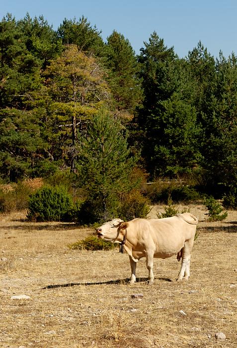 Vaca. Alto Tajo, septiembre 2011