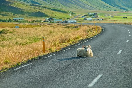 La oveja, la reina. Islandia 2018