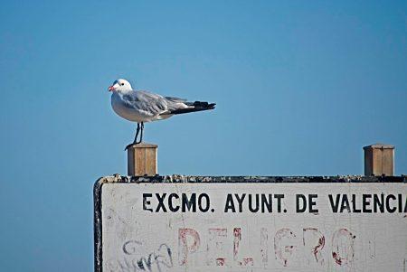 Gaviota de Audouin, Estany del Pujol, agosto 2019