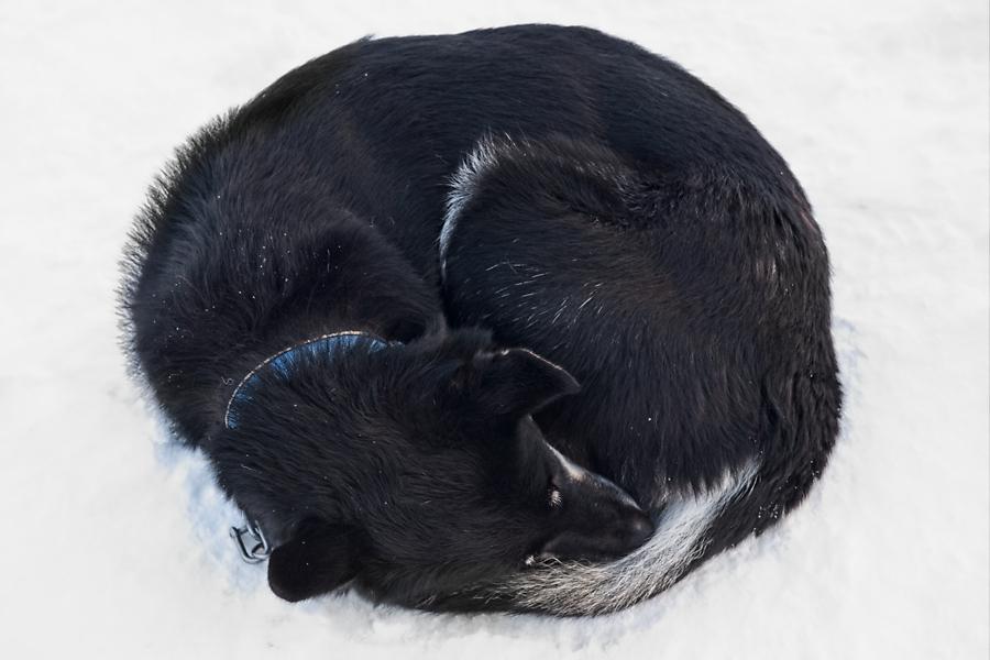 Husky, Noruega febrero 2020