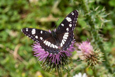Mariposa negra, Alto Tajo junio 2021