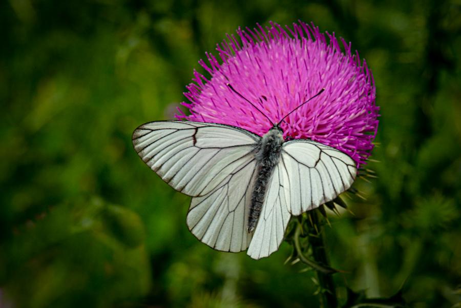 Mariposa blanca. Alto Tajo, junio 2021