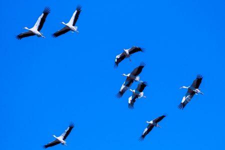Cigüeñas por el Alto Tajo,  septiembre 2021