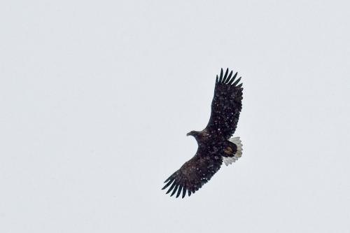 Águila de cola blanca